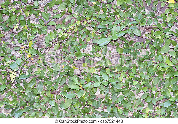 Green Leaves on Wall Background - csp7521443