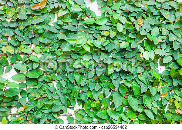 green leaves on wall texture background - csp26534482
