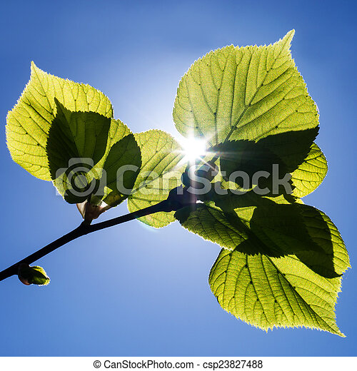 green leaves - csp23827488