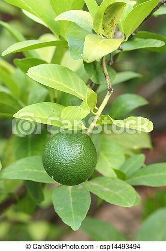 Green lemons on tree - csp14493494