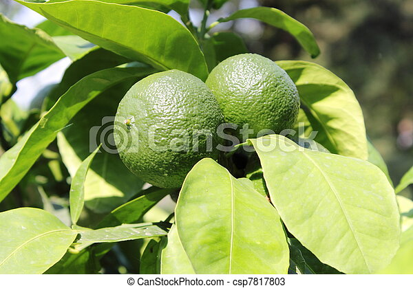 Green lemons on tree - csp7817803
