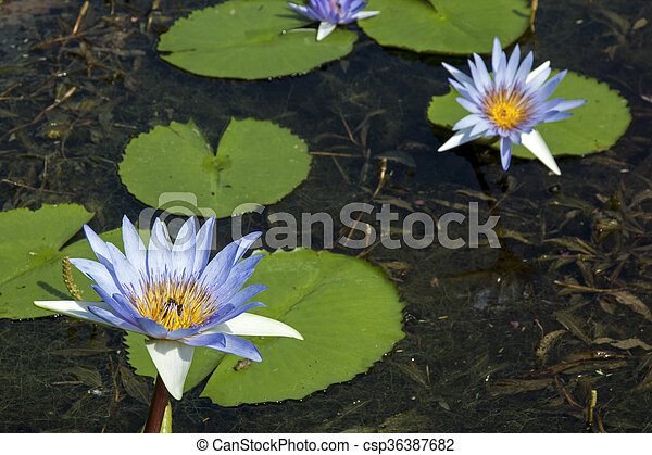 Green Lilly Pads On Pond With Blue Lotus Flowers Green Lilly Pads