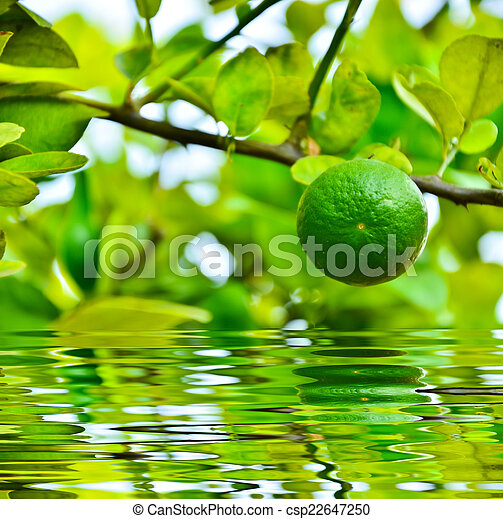 Green lime on a branch - csp22647250