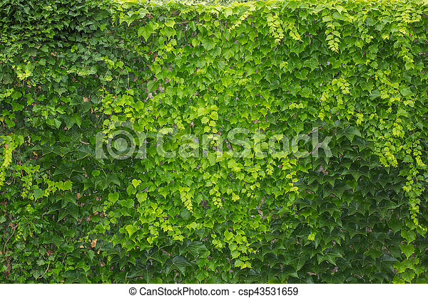 Good Green Living Fence From Ivy Leaves. Stock Images   Search Stock Photos,  Photographs, And Photo Clipart   Csp43531659