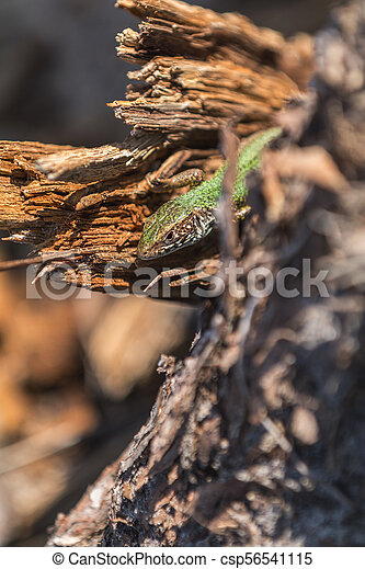 Green lizard in nature on the stinky stub in the spring sunny day. - csp56541115