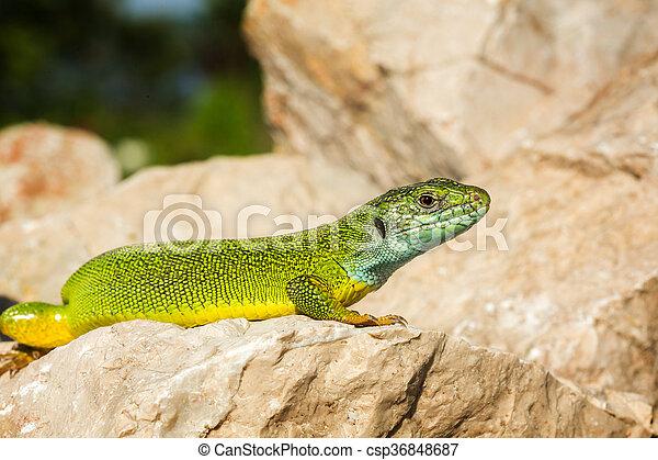 Green lizard - Lacerta viridis - csp36848687