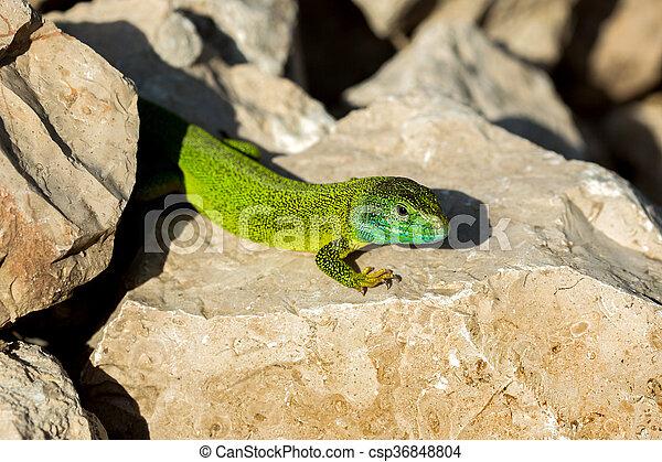 Green lizard - Lacerta viridis - csp36848804