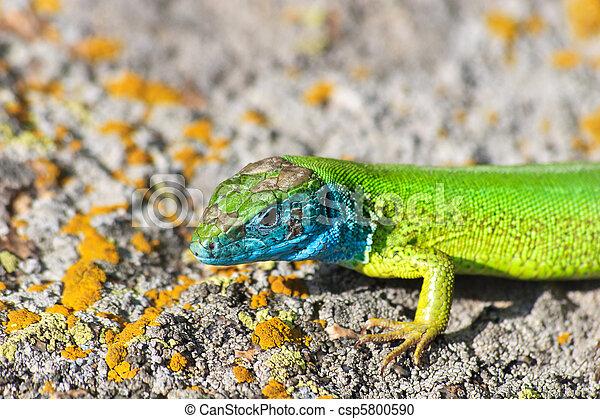 green lizard - lacerta viridis - csp5800590