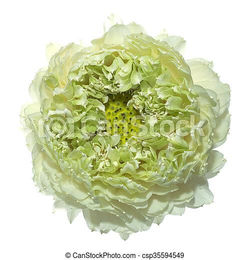 Green lotus flower scientific name nelumbo nueifera stock photo green lotus flower csp35594549 mightylinksfo