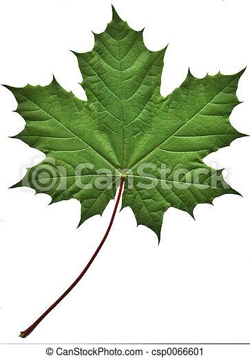 Green Maple Leaf - csp0066601