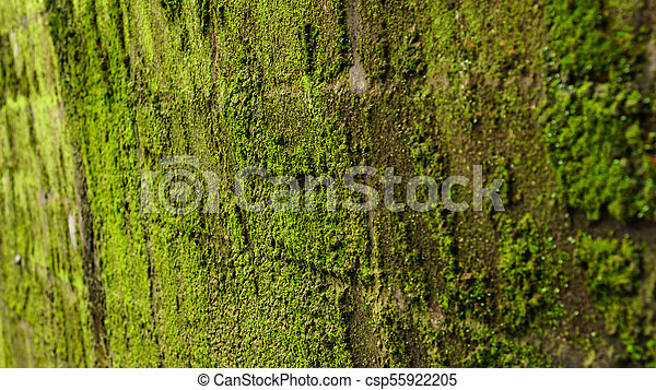 Green moss on old concrete wall - csp55922205