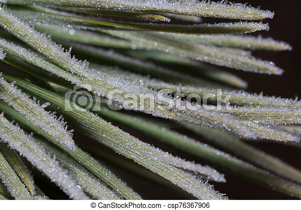 Green needles of a pine branch covered with hoarfrost. Close up. - csp76367906