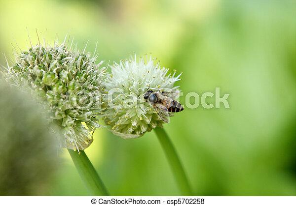 green onion flower - csp5702258