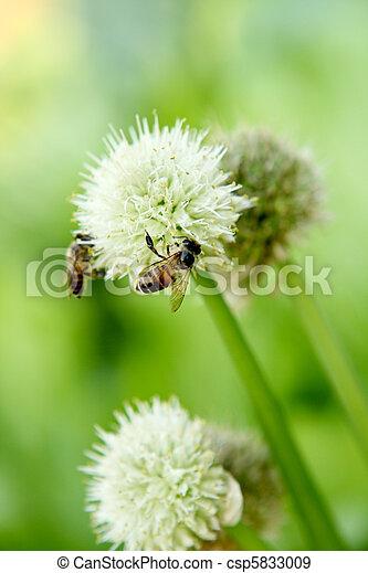 green onion flower - csp5833009
