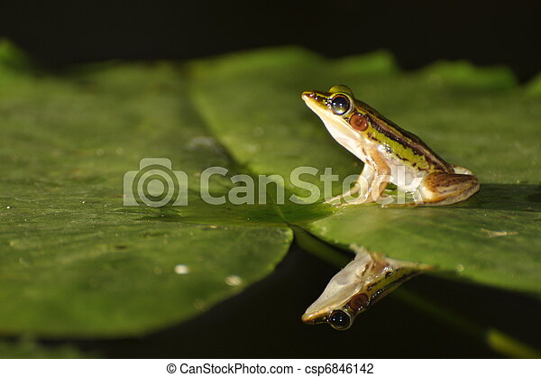 Green Paddy Frog on leaf with mirror in the water - csp6846142