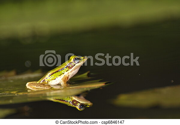 Green Paddy Frog reflected in the water - csp6846147