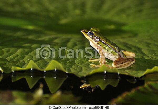 Green Paddy Frog with glimps of a mirror in the water - csp6846148