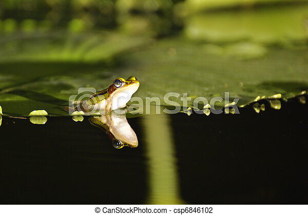 Green Paddy Frog with mirror on waterlily - csp6846102