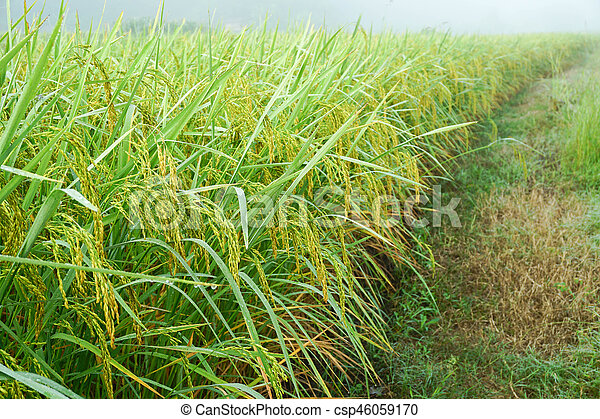 Green paddy rice in the field rice background - csp46059170