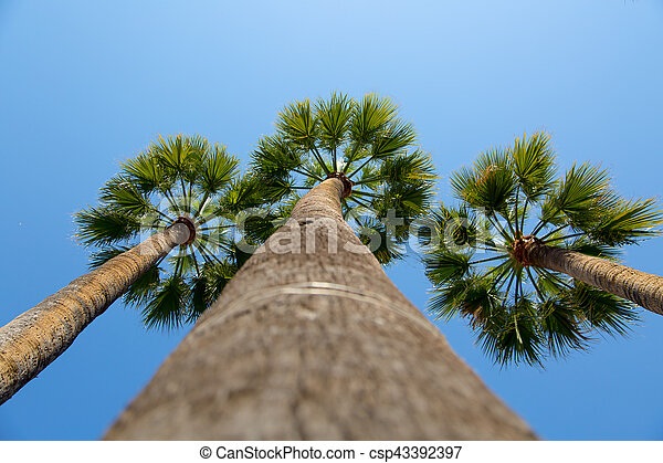 Green palm trees with blue sky background - csp43392397