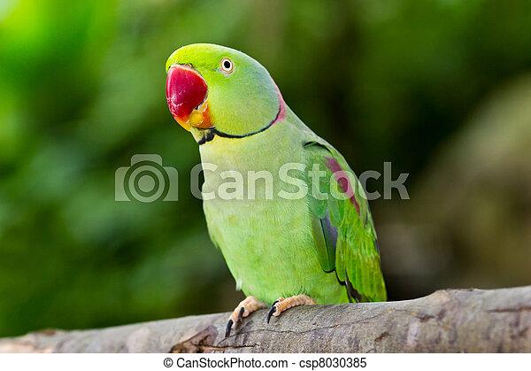 green parrot - csp8030385