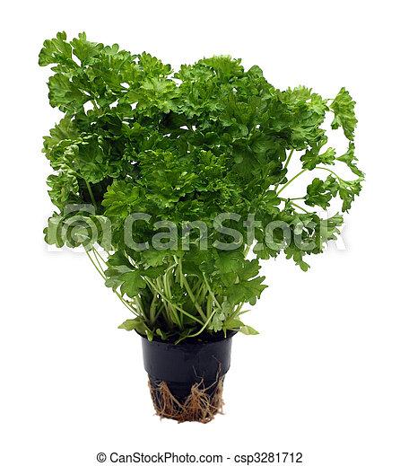 green parsley bunch in pot - csp3281712