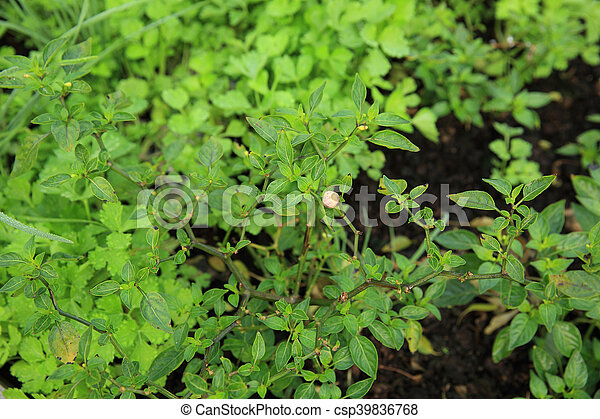 green pepper plant in growth at garden - csp39836768