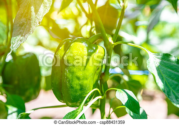 green peppers grown in a greenhouse on an organic farm - csp88431359