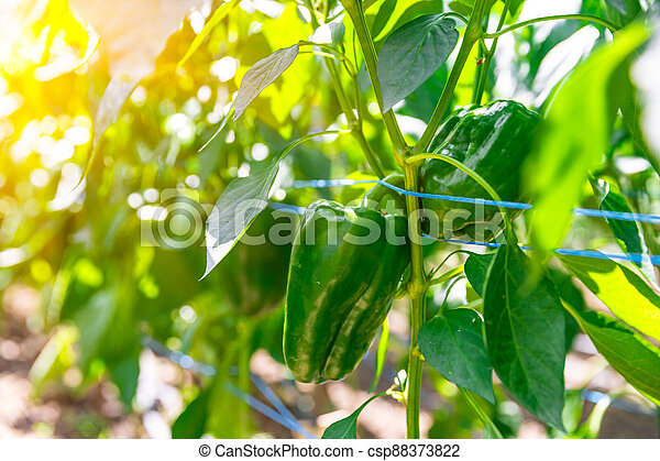 green peppers grown in a greenhouse on an organic farm - csp88373822