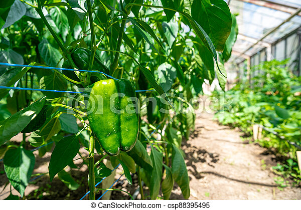 green peppers grown in a greenhouse on an organic farm - csp88395495