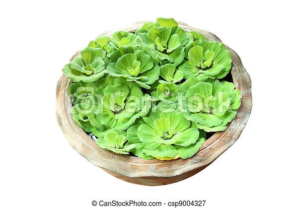 Green pistia stratiotes in pottery on white background. - csp9004327