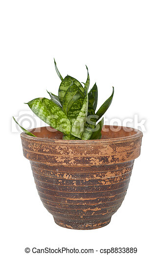 Green plant in a pot isolated on white - csp8833889