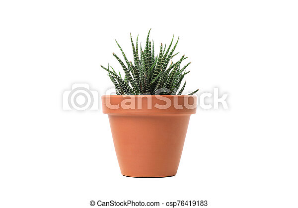 Green plant in pot isolated on white background - csp76419183