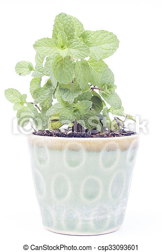 Green plant in pot isolated on white background - csp33093601