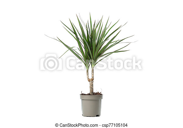 Green plant in pot isolated on white background - csp77105104