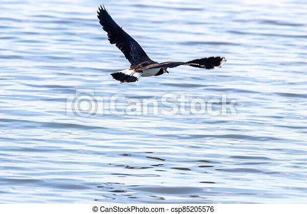 Green Plover in flight. European Northern Lapwing (Vanellus vanellus) - csp85205576