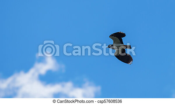 Green Plover in flight. European Northern Lapwing (Vanellus vanellus) - csp57608536