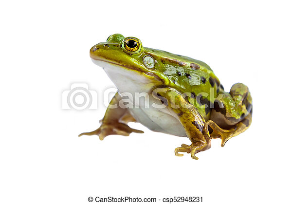 Green Pool frog male on white - csp52948231