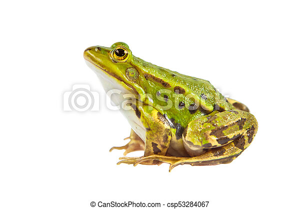 Green Pool frog male - csp53284067