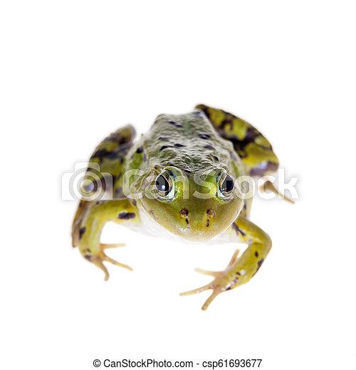 Green Pool Frog on white, Pelophylax lessonae - csp61693677