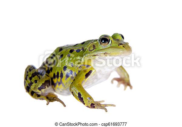 Green Pool Frog on white, Pelophylax lessonae - csp61693777