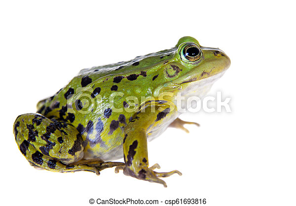 Green Pool Frog on white, Pelophylax lessonae - csp61693816