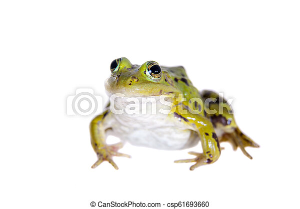 Green Pool Frog on white, Pelophylax lessonae - csp61693660
