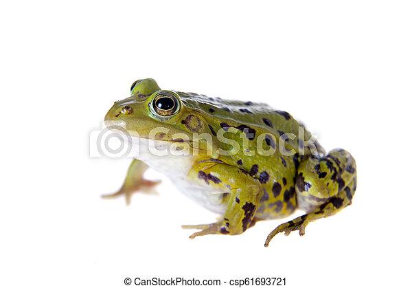 Green Pool Frog on white, Pelophylax lessonae - csp61693721