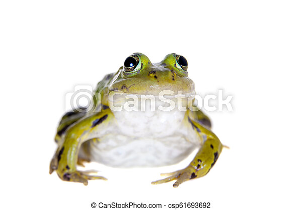 Green Pool Frog on white, Pelophylax lessonae - csp61693692
