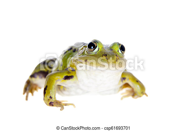 Green Pool Frog on white, Pelophylax lessonae - csp61693701