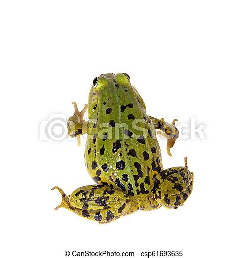 Green Pool Frog on white, Pelophylax lessonae - csp61693635