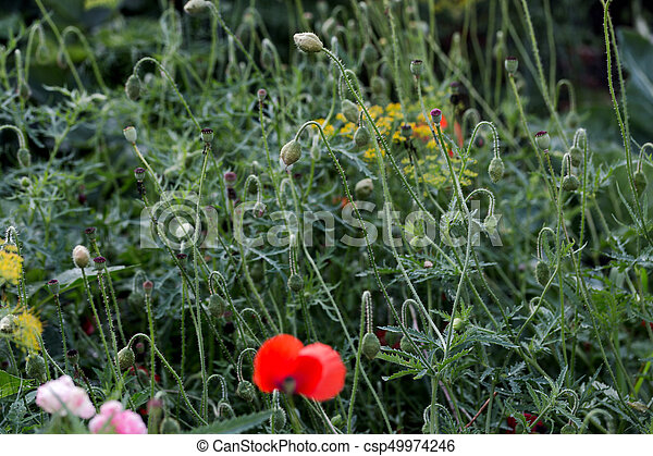 Green poppy papaver seed pods in the field green poppy seed pods green poppy papaver seed pods in the field csp49974246 mightylinksfo