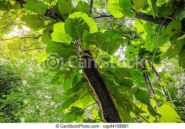 Green Pothos on tree in the garden - csp44108881