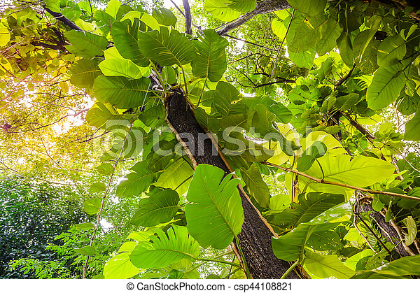 Green Pothos on tree in the garden - csp44108821